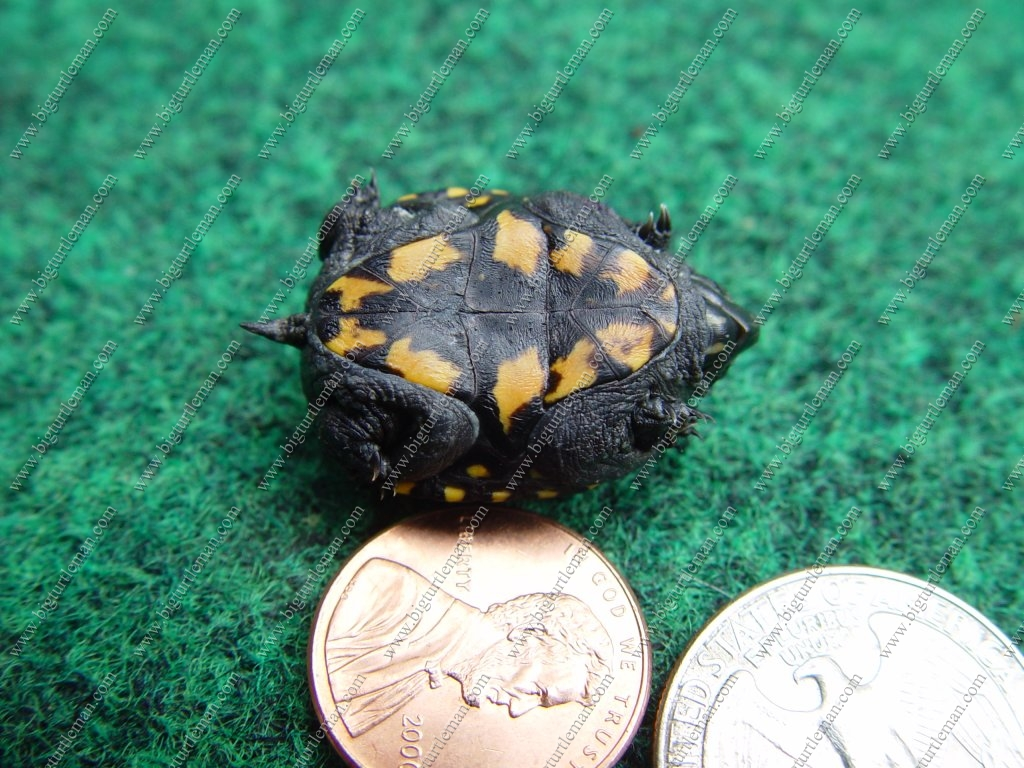striped mud turtle baby care