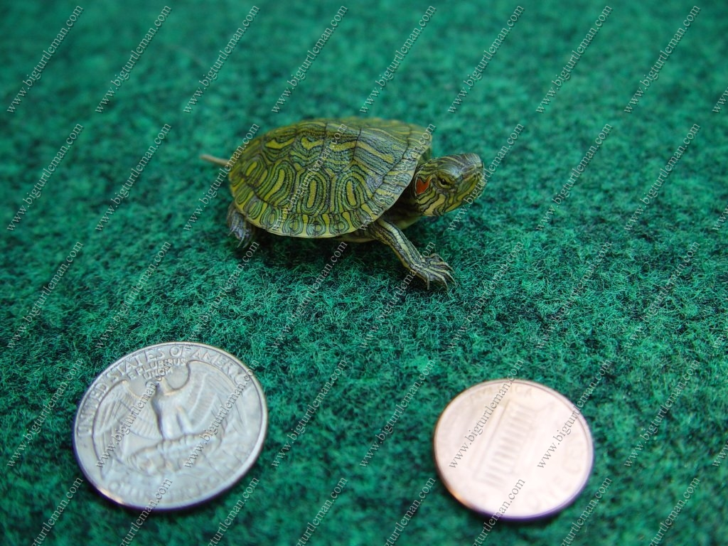 Baby River Turtles : ... To The Big Turtle Mans Site - Turtles, Tortoises, Box Turtles Too